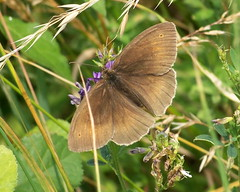 Meadow Brown in Stave Hill Ecology Park