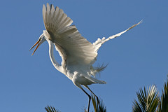 Great Egret Landing (Jason Ferguson) Tags: sky white bird heron water snowy wildlife great wing egret span bittern specnature specanimal