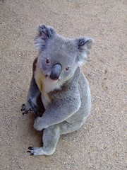Is This My Best Side? (End of Level Boss) Tags: cute australian australia koala qld queensland lou marsupial australiazoo 2007  coala naturesfinest    koaala     koal      hayopngkoala  gingaithucchu