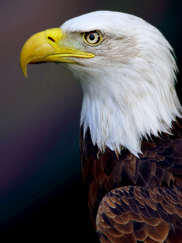 Bald eagle photo courtesy http://www.sxc.hu