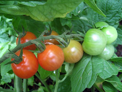 marcellino_tomatoes_7_2007_c