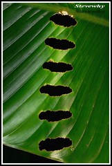 Banana Leaf pattern (Stevewhy) Tags: flowers macro nature leaf fantastic pattern searchthebest photos tag extreme tags flame macros supermacro extrememacro naturesfinest beautyisintheeyeofthebeholder abigfave anawesomeshot impressedbeauty creamofthecropanimalpics onenesslabyrinth diamondclassphotographer flickrdiamond qemdfinchadminfaveformay syntheticcolorpics macromaniacsofsingapore excapturemacro bananaleafpattern