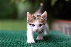 low profile (sausyn) Tags: cute beautiful cat puppy cub nice kitten feline dof sweet bokeh low young kitty step e newborn lovely piccolo rs gatto prowl cucciolo gattino passo sentimento colorato ragione