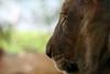 Aslan, The Greatest Lion (peasap) Tags: california ca summer eye face cat nose sandiego profile lion whiskers bigcat narnia wildanimalpark aslan naturesfinest thelionthewitchandthewardrobe aplusphoto