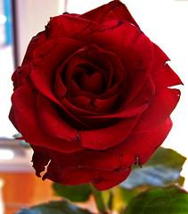 Közel egy csókhoz / Inches from a kiss (ssshiny) Tags: red flower love rose virág vörös rózsa szerelem flowerpicturesnolimits queenrose