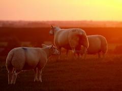 Sheeps enjoys sunsets too... (Kirsten M Lentoft) Tags: life sunset denmark sheeps naturesfinest albertslund supershot outstandingshots momse2600 flickrelite herstedhøje wonderfulworldmix denmarkdinamarca kirstenmlentoft
