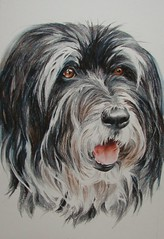 Millie Prismacolor drawing (gossamerpromise) Tags: dog pet art pencil drawing prismacolor beardedcollie coloredpencil petportrait