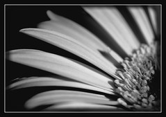 Silver Lady - take my hand (Kirsten M Lentoft) Tags: bw flower macro searchthebest daisy supershot flowerotica flickrsbest mywinners aplusphoto momse2600 superhearts theunforgettablepictures themacrogroup kirstenmlentoft