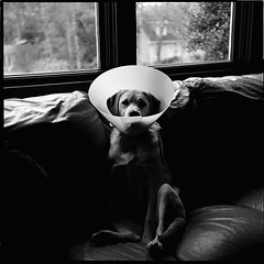 (somnium!) Tags: dog three labrador her surgery sofa neopan addison lunar addie spacemen ecollar autaut