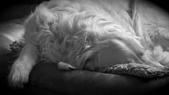Nothing Happens... #2 ( kerstin-horn.de) Tags: bw dog monochrome goldenretriever retriever hund sw monochrom 169 vignette immo