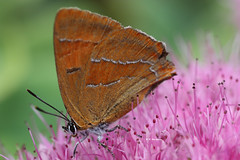 Happy Weekend (Rosemarie.s.w) Tags: autumn macro nature beauty canon butterfly insect wings wildlife butterflies september 2010 orenge creativemoment canoneos450d macrosofnature hairstreakbutterfly brownhairstreakbutterfly beautyoftheday