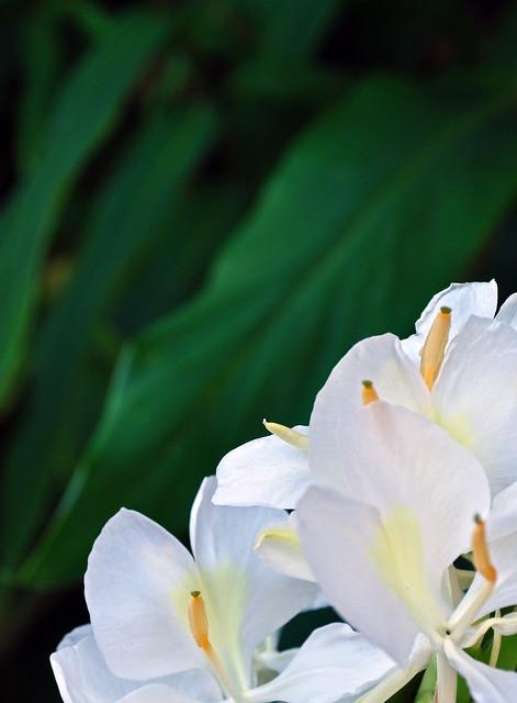 The Adams Garden - Hedychium coronarium