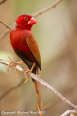 Crimson Finch (SillyOldBugger (in and out of internet range)) Tags: male bird australia aves queensland avian crimsonfinch neochmiaphaeton lawnhillnationalpark minolta3004hsg sonya55 sonyalpha55 sonydslta55 boodjamullanationalpark neochmiaphaetonphateon wildbirdaustralia