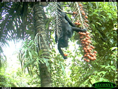 Howler Monkey (siwild) Tags: primates howlermonkey bci alouattapalliata taxonomy:common=howlermonkey taxonomy:group=primates sequence:index=97 file:name=img0318jpg siwild:study=fruitingpalmtrees siwild:studyId=panapalm siwild:Rank=0 geo:locality=panama taxonomy:species=alouattapalliata siwild:plot=55 siwild:location=1849 siwild:camDeploy=1327 sequence:id=29857 sequence:length=1390 siwild:date=200906261609000 siwild:trigger=61820 siwild:imageid=602744 file:path=dpicsrunsastromammalsvmar1arboreal2img0318jpg siwild:region=panama siwild:species=117 geo:lon=9159541 geo:lat=79844248 sequence:key=695 BR:batch=sla0620110103051642