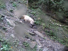 Takin (eMammal) Tags: takin wolong budorcastaxicolor geo:lon=30873 taxonomy:common=takin sequence:index=1 sequence:length=1 otherhoovedmammals taxonomy:group=otherhoovedmammals siwild:study=wolongcameratrapsurvey siwild:studyId=wolongbaitedsets geo:locality=china siwild:plot=wolong siwild:location=lwwl08811a siwild:camDeploy=chinadeploy194 geo:lat=103173 siwild:date=200809261610000 siwild:trigger=wwl08811a01064 siwild:imageid=wwl08811a01064 sequence:id=wwl08811a01064 file:name=wwl08811a01064jpg taxonomy:species=budorcastaxicolor sequence:key=1 siwild:region=china BR:batch=sla0620101119044543 siwild:species=12 file:path=dchinachinacameraimagedigitalafter2008wolongnaturereservewwl08811a01wwl08811a01064jpg