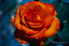 Apricot Gem (Jack o' Lantern) Tags: red flower macro art nature fleur rose closeup canon garden photography petals flora perfect blossom bokeh rosa bloom fiore my excellence kwiat the floribunda themoulinrouge doublefantasy ra arosebyanyothername photos first great rose blossoms flowerotica natures shots fantasy tea petals fantasticflower masterphotos photographers anawesomeshot friends photographer master diamondclassphotographer finest winners theunforgettablepictures delightfulroses bestroseshot awesome thegardenofzen quality floral excelentsflowers spiritofphotography hybrid perfect jackolantern unforgettableflowerscontest14 exquisitelygorgeousflowers bej