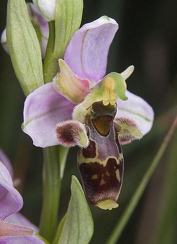 Ophrys scolopax? et errances taxinomiques - Page 2 5188234097_507d7a4e06
