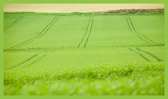 Stir the barley (tanera) Tags: green barley contrast fence spring colours farm crops corrugated anywhere wwwtaneracouk httptaneracouk