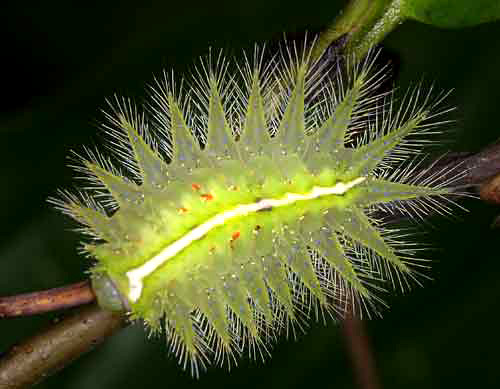 619304713 bf685f41dd Photogenic Caterpillars and Other Fascinating Insects of the Thai Forest