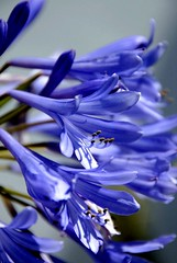 (pasma) Tags: blue flower blu fiore viola elegance naturesfinest supershot 10faves top20blue fiveflickrfavs excapture
