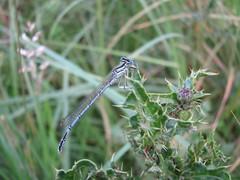 White-legged Damselfly (Alastair Rae) Tags: england shropshire odonata insecta whiteleggeddamselfly platycnemispennipes platycnemis
