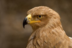 Tawny Eagle (sparky2000) Tags: bird nature birds animal animals searchthebest natural eagle aves animalplanet naturalworld animalkingdom avian tawny tawnyeagle naturesfinest supershot specnature lovelyphotos 25faves specanimal abigfave platinumphoto anawesomeshot avianexcellence diamondclassphotographer ysplix excellentphotographerawards sparky2000 platinumheartaward theperfectphotographer stuartreynolds stuartrobertsonreynolds robersonreynoldsphotography
