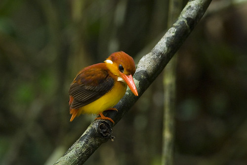 Rufous Backed Kingfisher 1