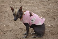 Hairless in pink, is that with a Mohican? (10b travelling) Tags: pink dog peru latinamerica southamerica animal ctb fauna hair mammal site bitch ten hairless americas carsten trujillo mohican sudamerica brink huaca 10b cmtb tenbrink