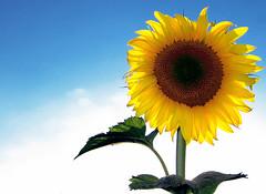 Sunflower (Firenzesca) Tags: summer color nature yellow estate vivid sunflower girasole naturesfinest flickrstars colorphotoaward vividmasters clos3toreality