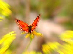 Butterfly Effect (Chaos Theory) (steve_steady64) Tags: flowers italy orange mountains nature colors photoshop butterfly insect wings chaos manipulation papillon borboleta mariposa trentino dolomites farfalla schmetterling   butterflyeffect   supershot  abigfave stevegatto stevegatto aplusphoto 2007stevegatto superhearts gaviapass extremedesign