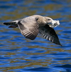 (#52) Young Murderer (tinyfishy (Gone to Cuba)) Tags: canada bird flying inflight novascotia seagull herringgull peopleschoice kittiwake birdislands