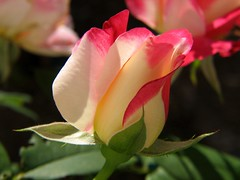 Double Delight Rosebud - by audreyjm529