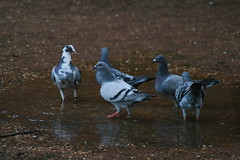 Pigeons Drinking/Bathing (RJ Metcalfe) Tags: photo pigeons drinking communalbathing canoneos400d kennilworthcastle