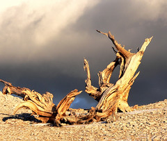 Bristlecone Pine, White Mountains, California (davidkiene) Tags: whitemountains highdesert bristleconepine easternsierra patriarchgrove perfectphotographer