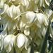 FLOR DE IZOTE/ Flor Nacional de El Salvador