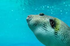 boxfish (lOtkOt) Tags: travel fish d50 nikon australia seaworld boxfish goldcoast jalalspagesmarinelifealbum