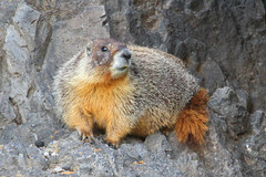 So simple, even a Cave Chuck can do it! (Steve Byland) Tags: california nature canon mammal 7d marmot yellowbellied marmota rockchuck flaviventris specanimal
