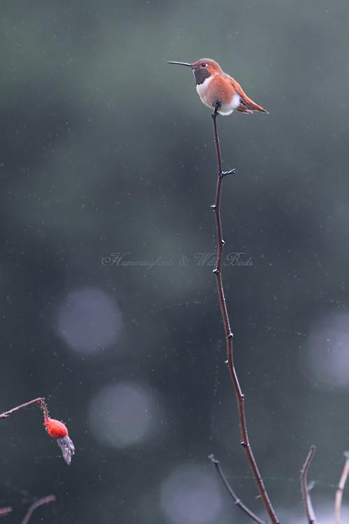Allen's Hummingbird 102010-4