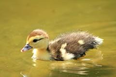 [フリー画像] [動物写真] [鳥類] [鴨/カモ] [雛/ヒナ] [黄色/イエロー]      [フリー素材]