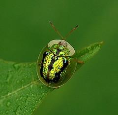 Aspidomorpha furcata - by Matthew Fang