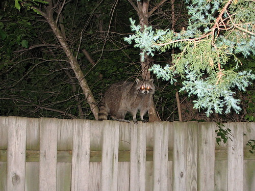 Mama coon calling her 3 babies