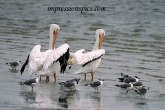 White Pelicans Drying Wings