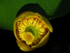 yellow pond lily - vizitk (elisabatiz) Tags: plant flower nature yellow explore swamp soe waterplant