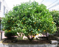 lemon2007july