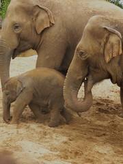 Indian Elephants (sam2cents) Tags: baby nature mammal parents perfect wildlife pachyderm ungulate herbivore cages dublinzoo enclosures animalkingdomelite anawesomeshot panasoniclumixdmclz3 indianelephantelephasindicus goldwildlife