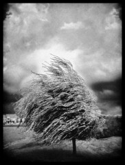 "I will not bow to the wind (""infrared"" version) (blogrodent) Tags: life portrait sky blackandwhite bw white storm black tree art classic love nature monochrome beauty leaves weather clouds landscape geotagged mono design illinois movement nikon sad artistic wind action character border gray grain windy blowing stormy stretch victory blow spooky nostalgia willow independent ethereal depression infrared desaturated lonely grainy grayscale stark gusty romeoville stress bnw entwine courage stormyweather strain blown gust bending blustery inclement arboreal nikon3200 blogrodent august2008 richtatum artlegacy fiveflickrfavs geo:lat=41622085 geo:lon=88128422 capturedphotocontestinhabitat"