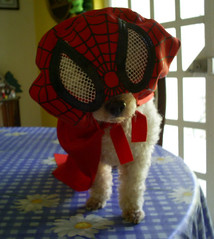 """Spider"" GIGIO (THe cUriOUs OYsTEr) Tags: red french spiderman poodle hero amadeus gigio heroe minitoy thecuriousoyster"