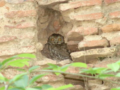 Well Settled (Spotted Owlet) (vikrant1809) Tags: india bird nature birds fauna wildlife naturesfinest athenebrama dirtyphotoshop