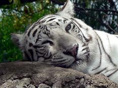 Tigre de Bengala (Terravid) Tags: animal america mexico zoo wildlife tiger felino puebla tigre babie zoologico bengala africamsafari