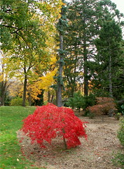 Lonely Red Maple (Stanley Zimny (Thank You for 16 Million views)) Tags: park autumn trees red color tree fall nature colors leaves yellow automne catchycolors leaf maple colorful colours seasons natural fallcolors autumncolors fourseasons autumnal colorexplosion 4seasons unature
